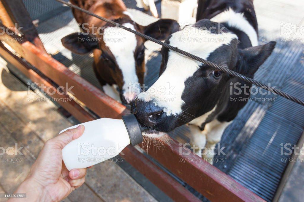 Baby Cow Feeding On Milk Bottle By Hand Of Woman Dairy Farm Thailand