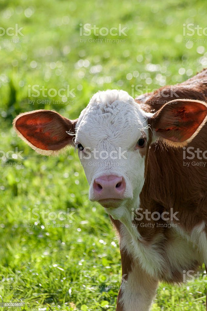Baby cow on meadow looking into camera stock photo