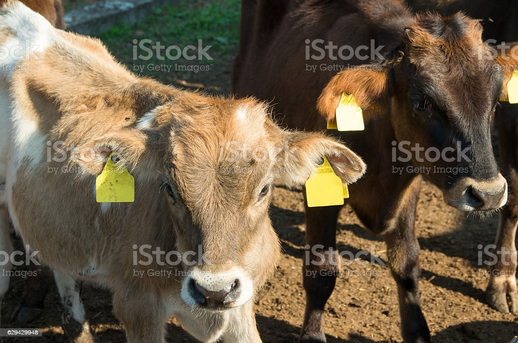 Baby cows. Calves. stock photo
