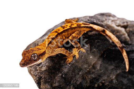 Baby crested gecko on isolated white background