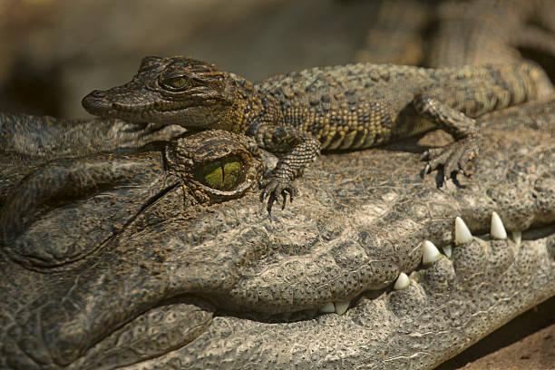 Bébé Crocodile sur adulte s Head - Photo