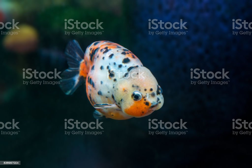 Baby Cute Calico Ranchu Goldfish Stock Photo - Download Image Now