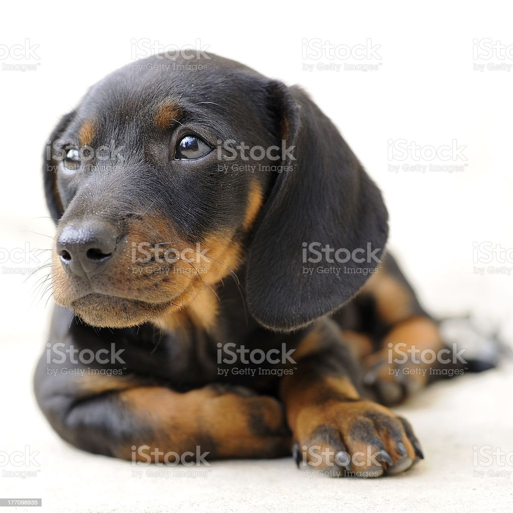Baby Dachshund Stock Photo Download Image Now Istock