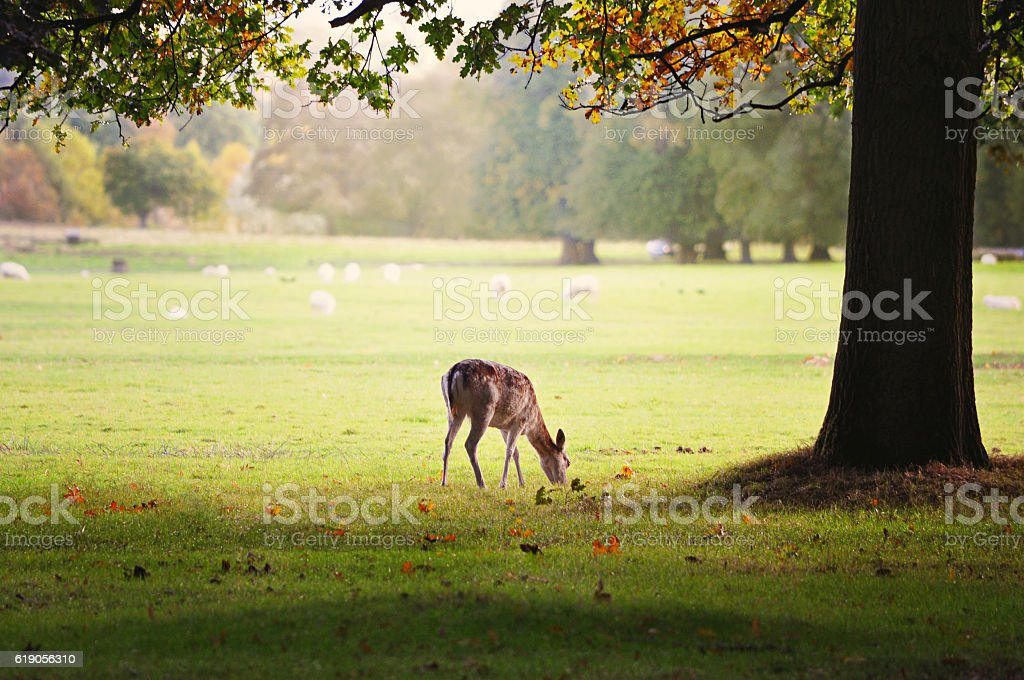Baby deer eating grass under a large oak tree. stock photo