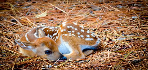 bébé cerf fauve en aiguilles de pin - faon photos et images de collection