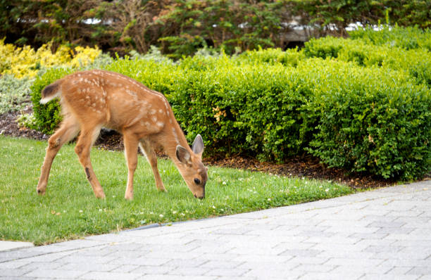 Baby Deer - Fawn in the backyard munching on the grass stock photo