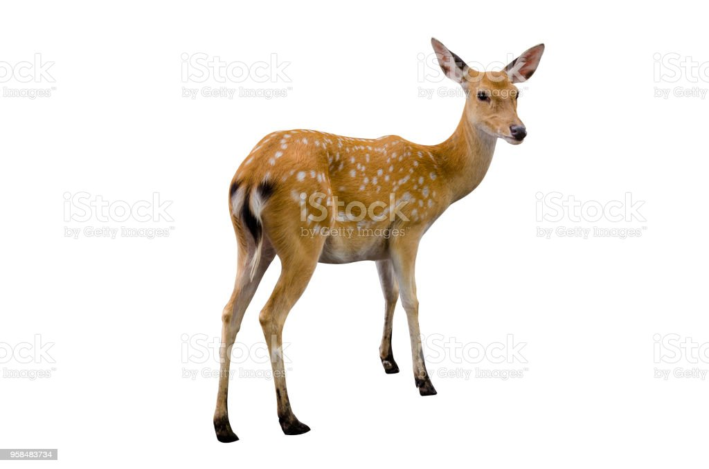 baby deer isolated in white background royalty-free stock photo