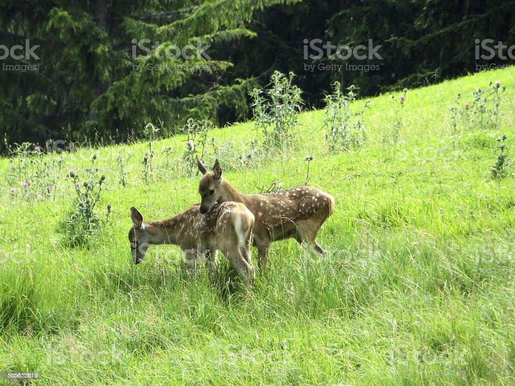 Baby deers royalty-free stock photo