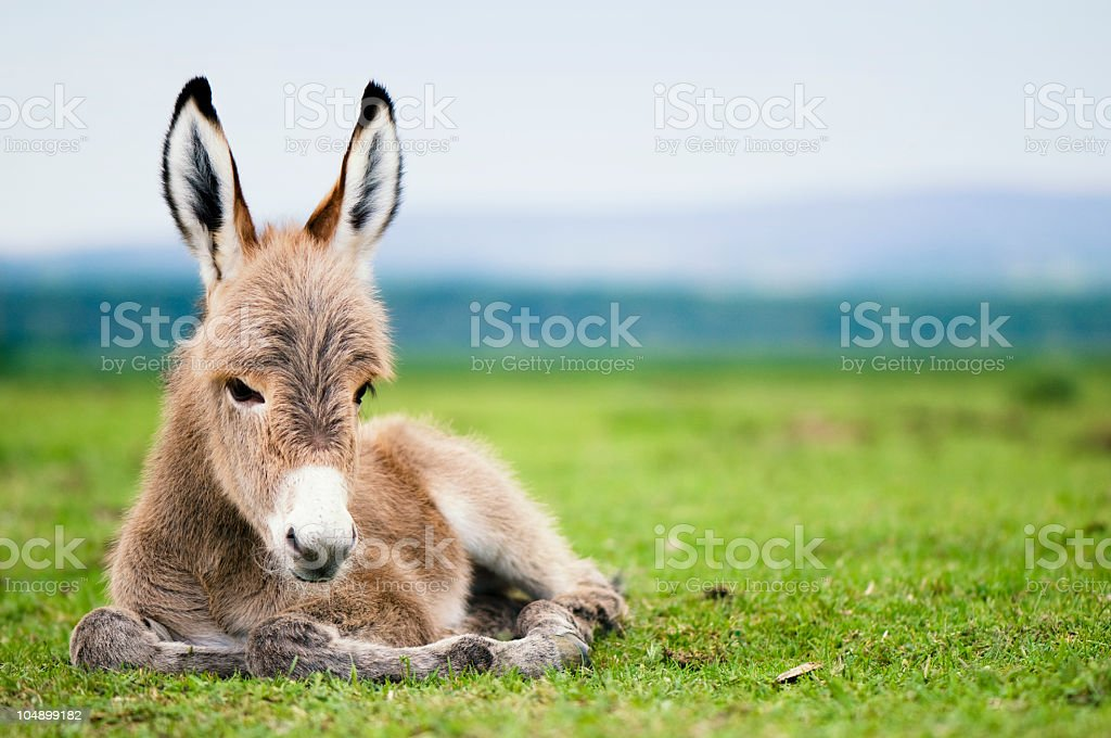 Baby donkey laying in a green pasture royalty-free stock photo
