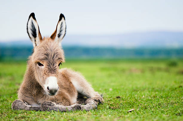 Baby donkey laying in a green pasture young mule or baby donkey foal young animal stock pictures, royalty-free photos & images