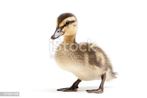 istock Baby duck on a white background 147087426