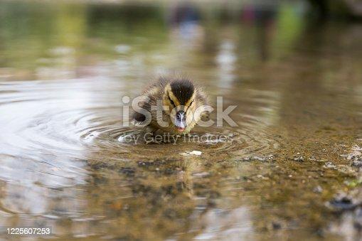 istock baby duck 1225607253