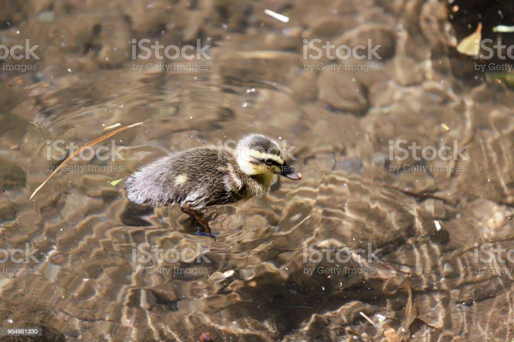 Baby duck stock photo