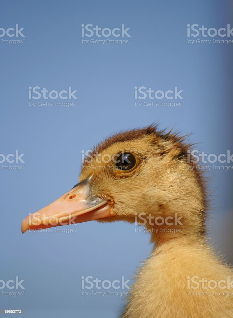 baby duck portrait royalty-free stock photo