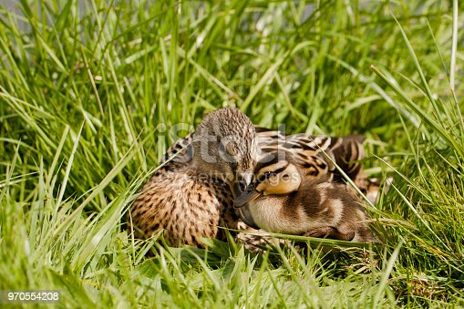 Baby duck with his mother, during spring