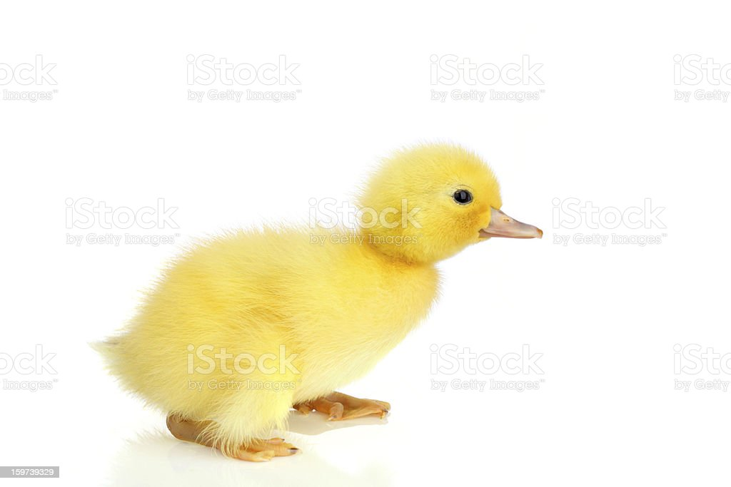 Baby duckling isolated on white stock photo