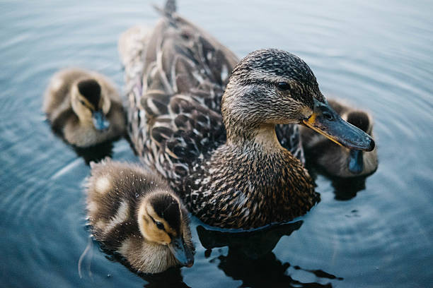 Baby ducks with their mother Baby ducks with their mother animal family stock pictures, royalty-free photos & images