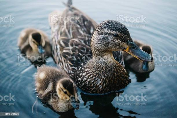Photo of Baby ducks with their mother