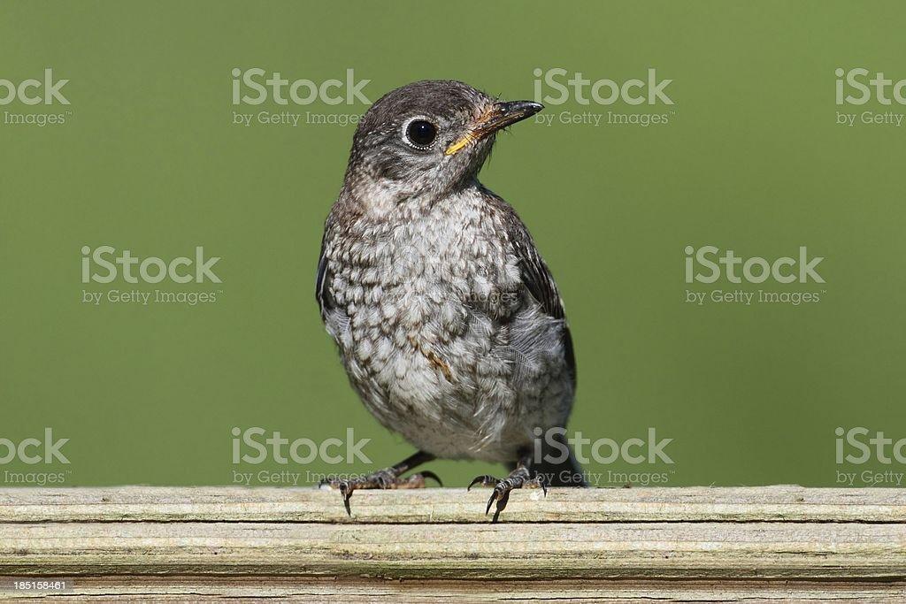 Baby Eastern Bluebird royalty-free stock photo
