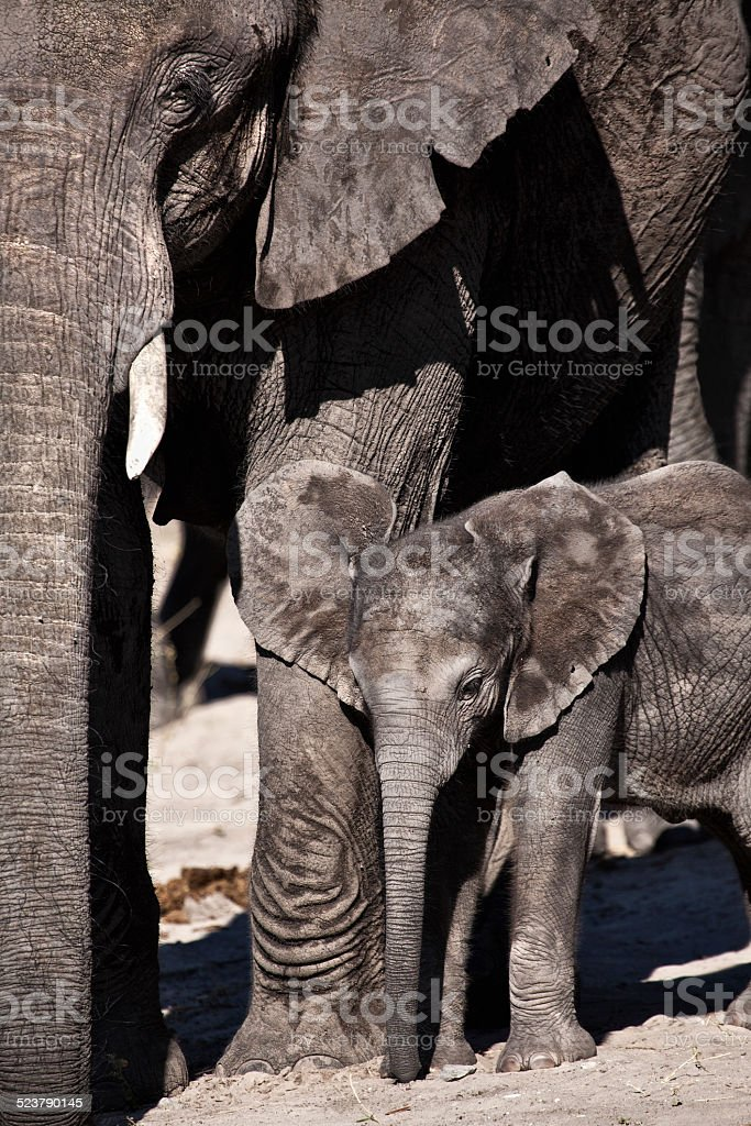 Baby Elephant and mother stock photo