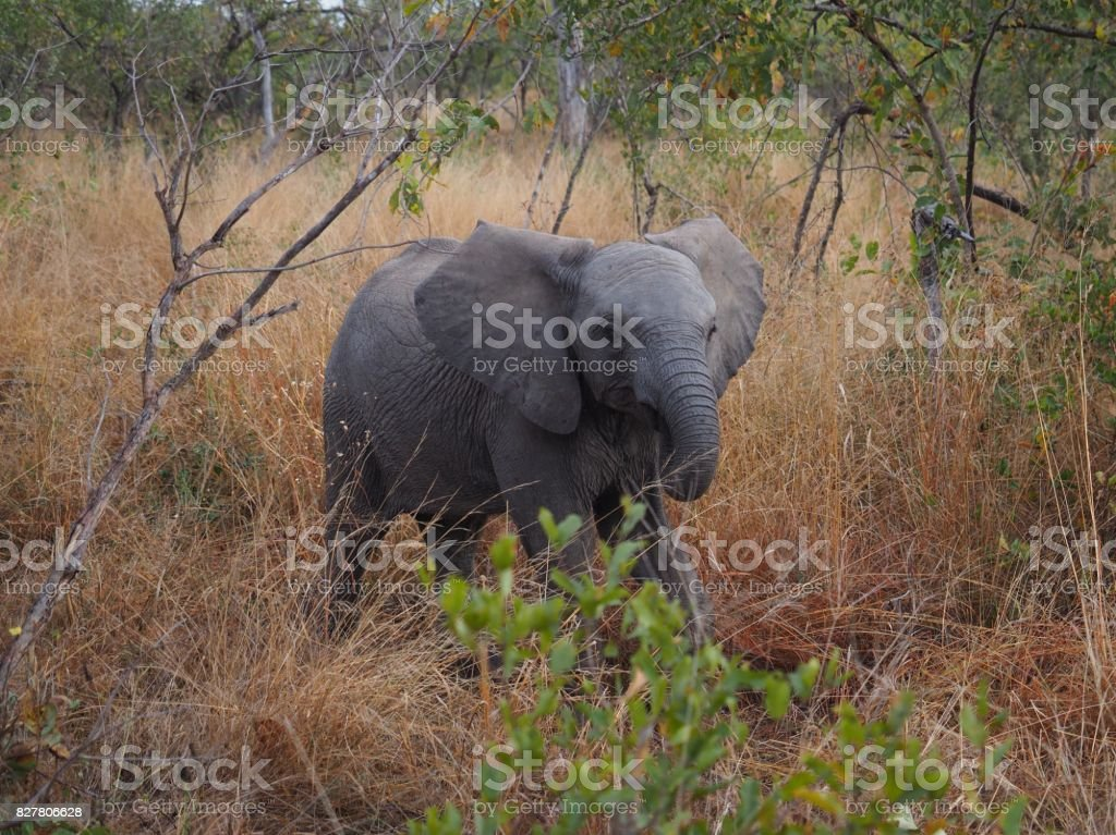Baby elephant catching up to its mom stock photo