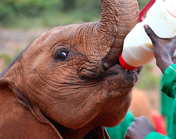 Baby elephant feeding from a bottle of milk picture id153906576?b=1&k=6&m=153906576&s=612x612&w=0&h=fo 6runvo4iqsdnyzuzit676b2d8uteiq9a4m0iv3wu=