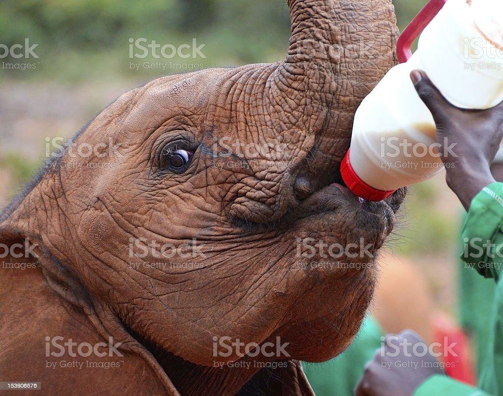 Baby elephant feeding from a bottle of milk stock photo