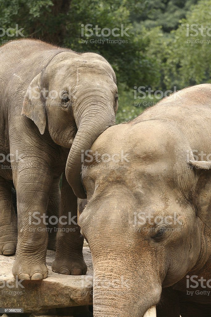 Baby elephant hugging his dad royalty-free stock photo
