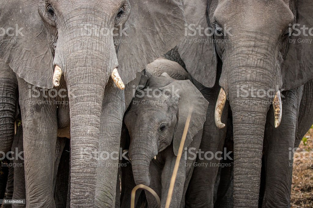 Baby Elephant in between a herd of Elephants. stock photo