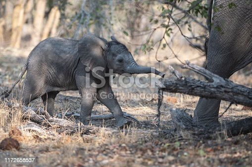 baby elephant following its mother