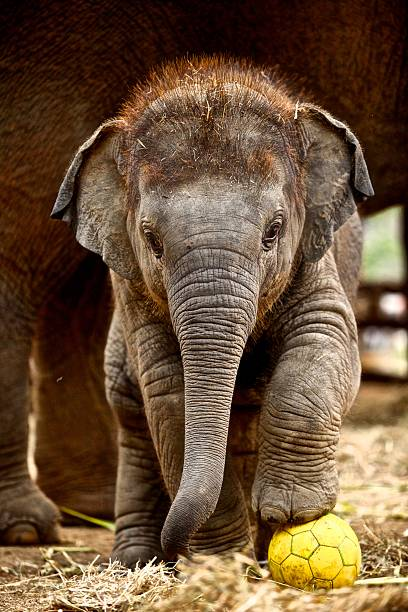 Baby elephant Great picture of baby elephant with the football elephant calf stock pictures, royalty-free photos & images
