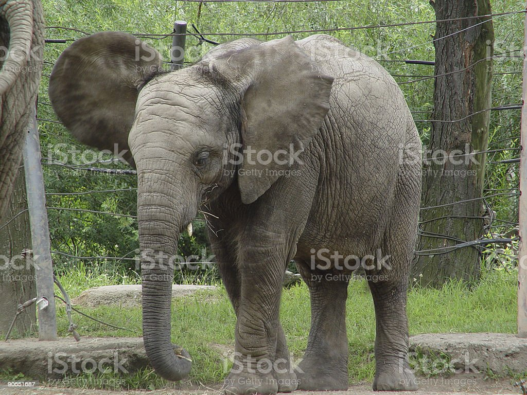 Baby elephant royalty-free stock photo