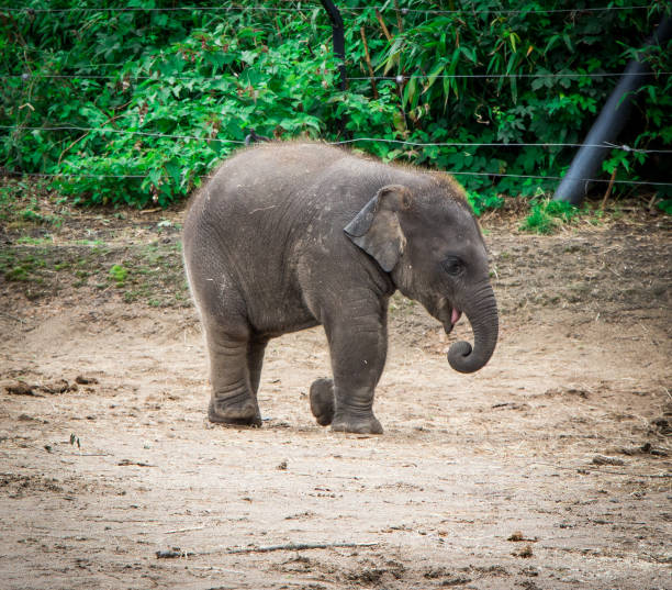 Baby Elephant Baby Elephant at the zoo in Ireland elephant calf stock pictures, royalty-free photos & images