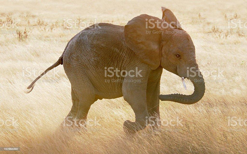 Baby elephant running through grasses of the Massai Mara stock photo