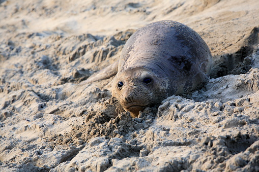 Baby elephant seal, in Año Nuevo State Park