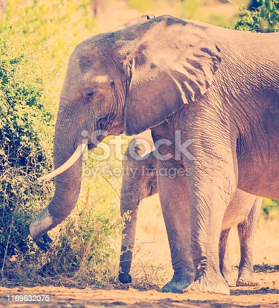 Baby elephant calf standing with its mother in the wild in Botswana, Africa with retro Instagram style filter effect