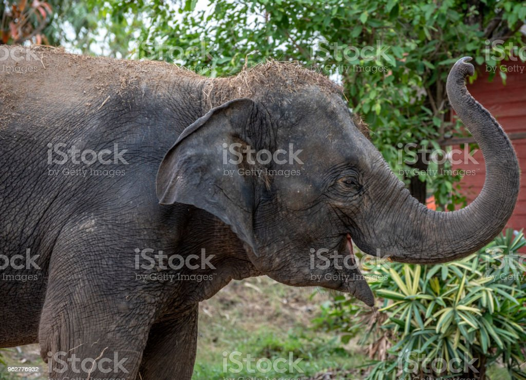 Baby Elephant waiting for some food and trumpeting for joy. stock photo