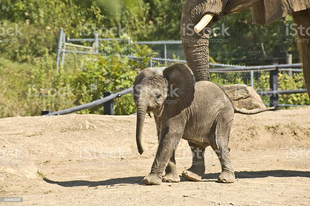 Baby elephant walking ahead of mother stock photo