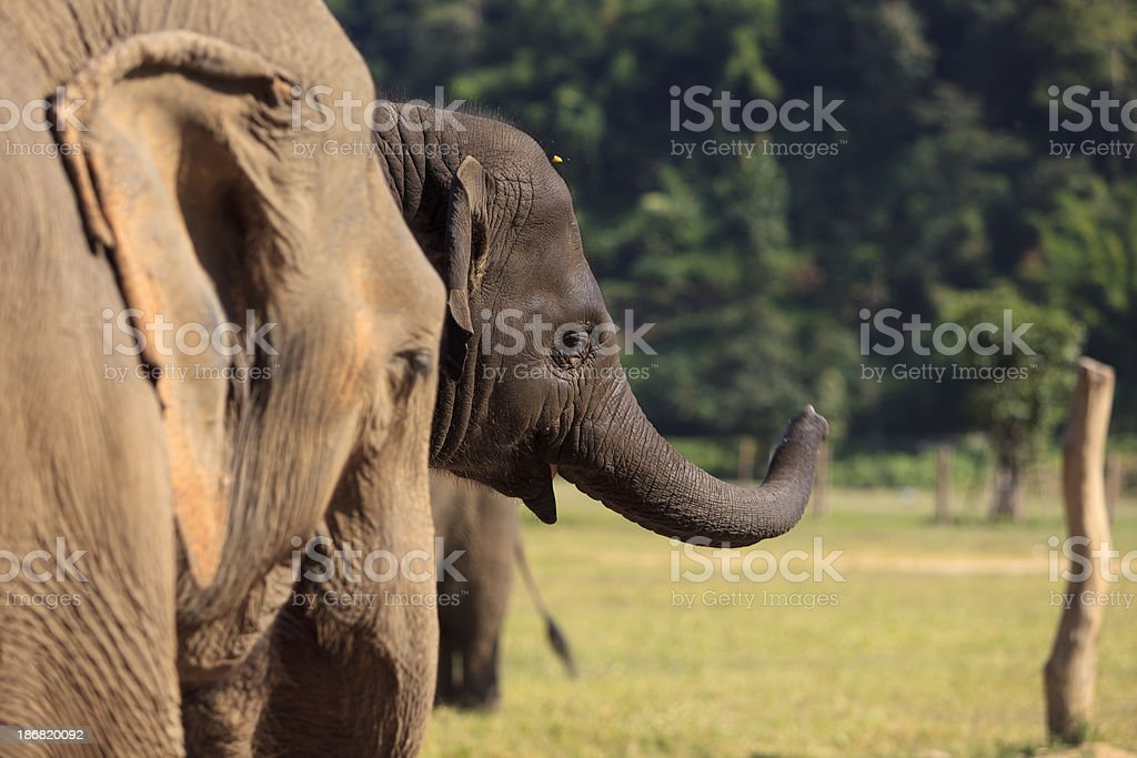 Baby Elephant with Curled Trunk royalty-free stock photo