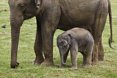 One-month-old Indian elephant (Elephas maximus indicus) with his mother.