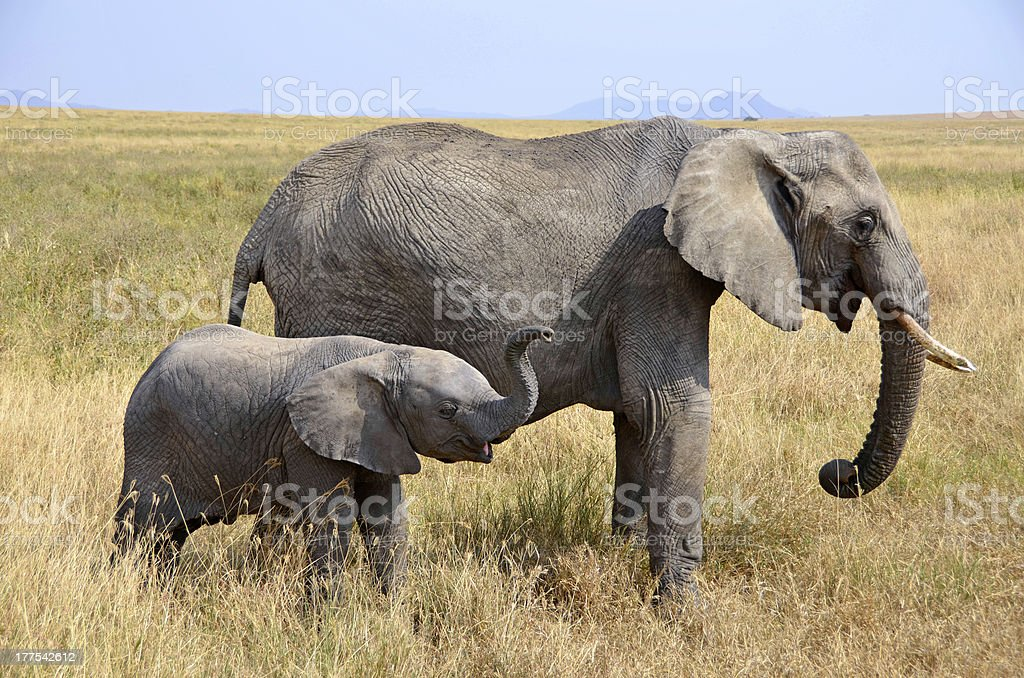 Baby Elephant with Mother Standing in Grass royalty-free stock photo