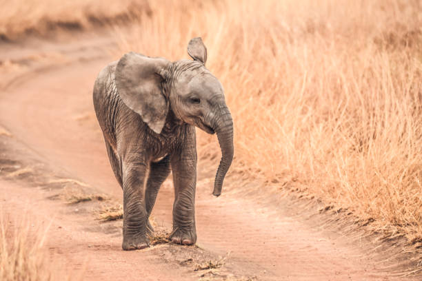 Baby Elephants of Africa Various shots of baby elephants being curious, disobedient, happy, and innocent. elephant calf stock pictures, royalty-free photos & images