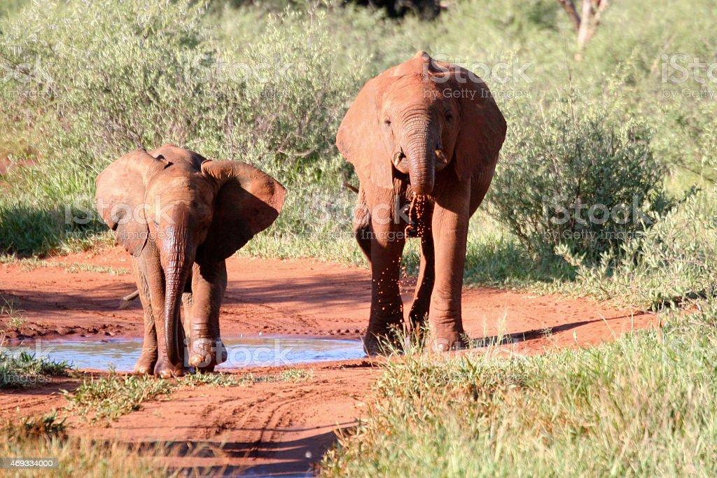 Baby Elephants, South Africa royaltyfri bildbanksbilder