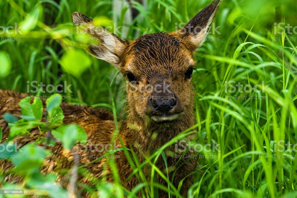 Baby Elk in Aspen Meadow stock photo