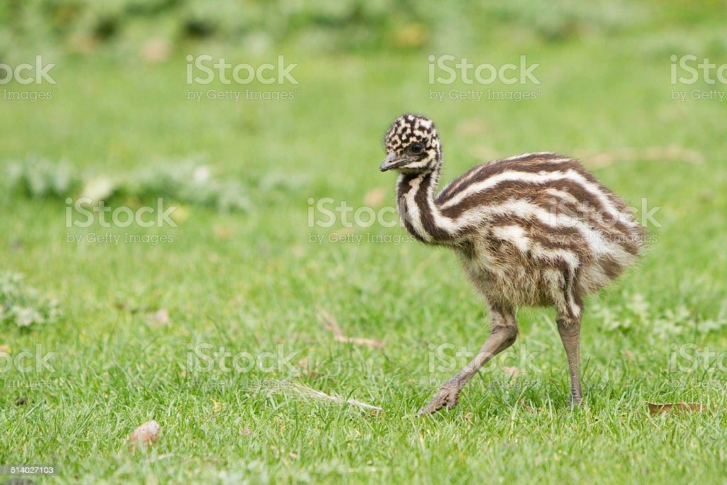 Baby Emu stock photo