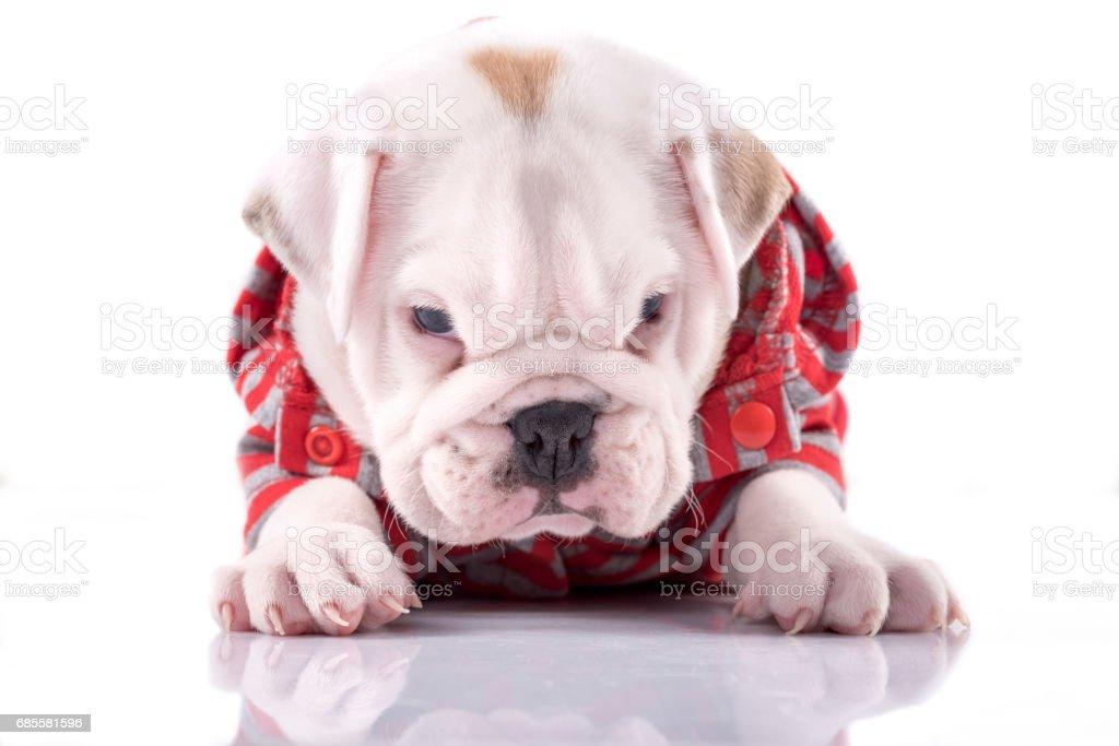 Baby English Bulldog Stock Photo Download Image Now Istock
