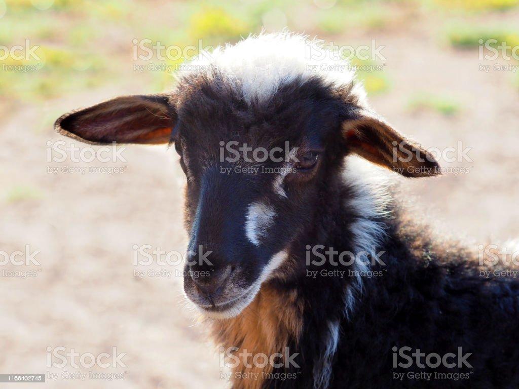 Baby farm animals. Portrait of young lamb