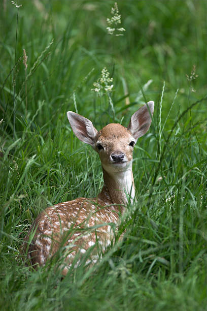 Baby fawn in the grass stock photo
