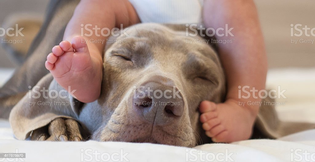 cute baby feet over a weimaraner dog head with his closed eyes.