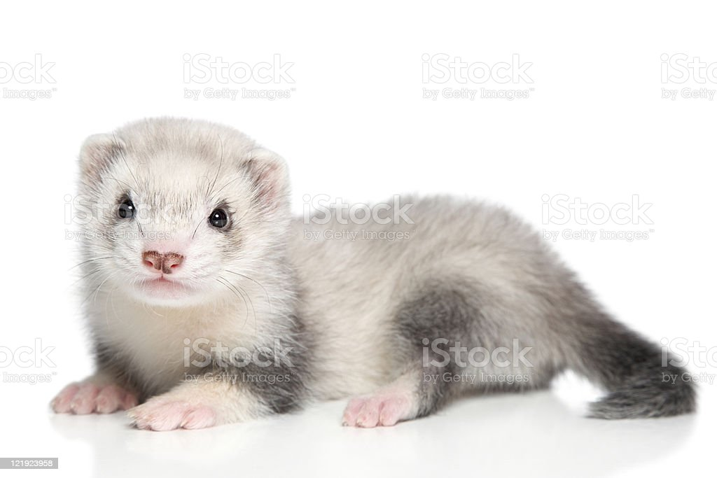 Baby ferret on a white background stock photo
